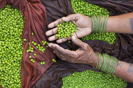 Green chick peas, India