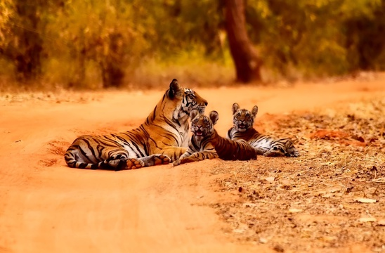 Tiger and cubs, Ranthambore NP, India