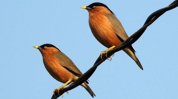 Brahminy Starling, Keoladeo NP, Bharatpur, India