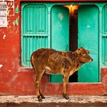 Holy cow, India
