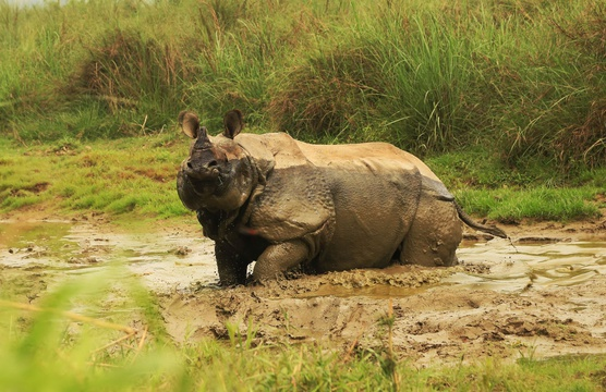 One-horned rhino, Chitwan NP, Nepal
